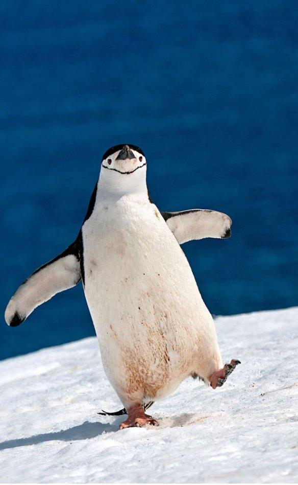 Sergey_Kokinskiy_wildlife_photography_happy_penguin