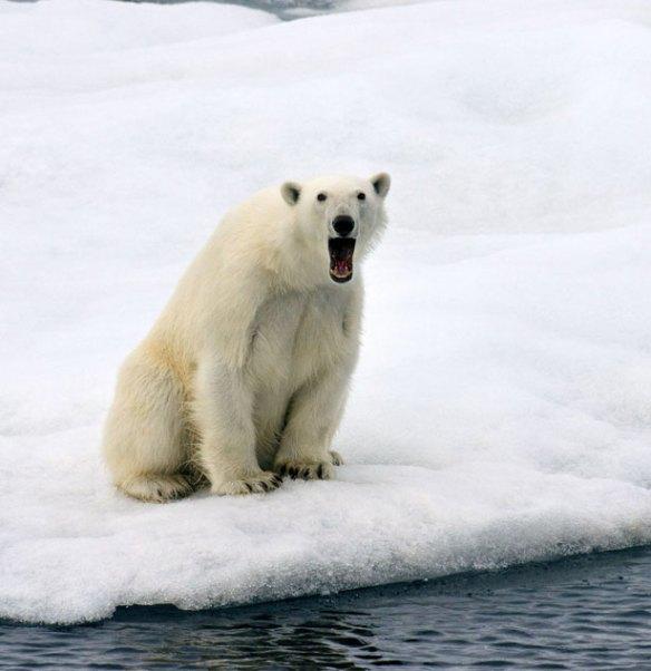 Sergey_Kokinskiy_wildlife_photography_polar-bear